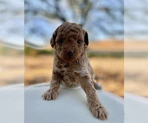 Poodle (Toy) Puppy for Sale in HANFORD, California USA