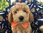 Poodle (Toy) Puppy For Sale in QUARRYVILLE, PA, USA