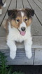 AKC Registered Collie Puppies