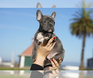 French Bulldog Puppy for Sale in S SAN FRAN, California USA