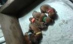 Min Dachshund Puppies Dapples Going Fast