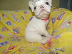 French Bulldog Puppy For Sale in PATERSON, NJ, USA