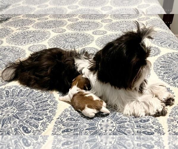 Medium Photo #4 Shih Tzu Puppy For Sale in SUGAR HILL, GA, USA