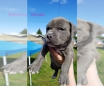 Puppy 8 American Pit Bull Terrier