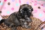 Shih Tzu Puppy For Sale in FARMINGTON, MO, USA
