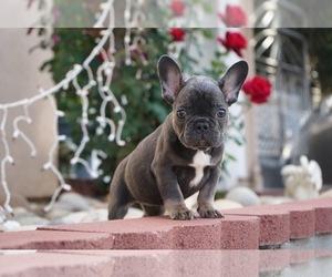 French Bulldog Puppy for sale in SAN JOSE, CA, USA