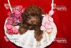 Small #9 Poodle (Toy)
