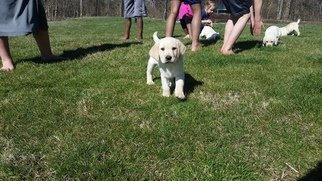 Labrador Retriever Puppy For Sale in DENVER, PA