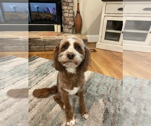 Cavapoo Puppy for sale in KERNERSVILLE, NC, USA
