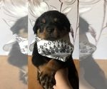Rottweiler Puppy For Sale in LAKEVIEW, CA, USA