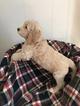 Goldendoodle-Poodle (Standard) Mix Puppy For Sale near 49042, Constantine, MI, USA