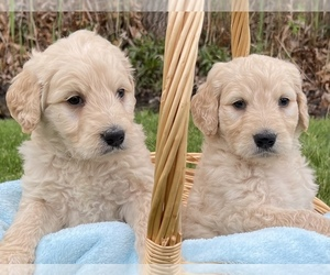 Goldendoodle Puppy for sale in CHESTERFIELD, MI, USA