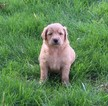 Goldendoodle Puppy For Sale in WALTON, Indiana,