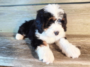 View Ad Miniature Bernedoodle Puppy For Sale Near Ohio Millersburg