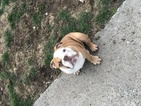 English Bulldogge Puppy For Sale in EAST HAVEN, Connecticut,