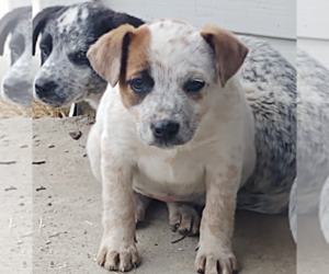 Australian Cattle Dog Puppy for sale in SAINT PAUL, MN, USA
