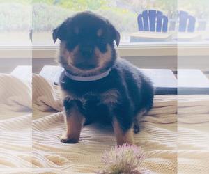 Rottweiler Puppy for Sale in ELLENSBURG, Washington USA