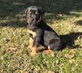Rottweiler Puppy For Sale in ABERDEEN, MD, USA