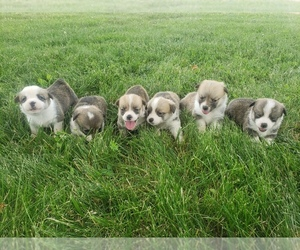 Pembroke Welsh Corgi Puppy for sale in MOUNTAIN GROVE, MO, USA