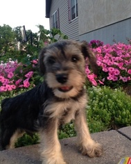 Schnauzer (Miniature) Puppy for sale in ELLIOTTSBURG, PA, USA