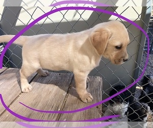 Labrador Retriever Puppy for sale in SCOTTSDALE, AZ, USA