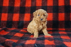 Goldendoodle Puppy For Sale in KENSINGTON, OH, USA