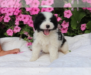 Aussie-Poo Puppy for sale in SHILOH, OH, USA