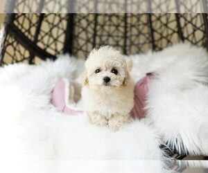 Poochon Puppy for sale in FULLERTON, CA, USA