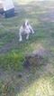 Bull Terrier Puppy For Sale in FLORENCE, SC