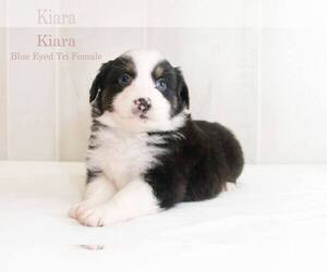 Australian Shepherd Puppy for sale in BESSEMER, AL, USA