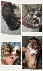 Cocker Spaniel Puppy For Sale in HAZLEHURST, MS, USA