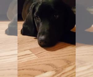 Labrador Retriever Puppy for sale in RUSH CITY, MN, USA