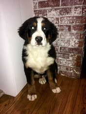 Bernese Mountain Dog Puppy For Sale in APPLE CREEK, OH, USA