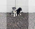Small #1 Akita-Siberian Husky Mix