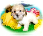 Small #2 Shorkie Tzu