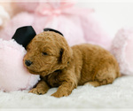 Puppy 8 Goldendoodle (Miniature)