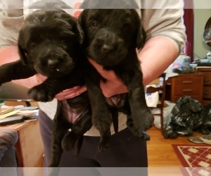 Labradoodle Puppy for sale in VIENNA, IL, USA