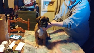 Boxer Puppy For Sale in GREENVILLE, PA, USA