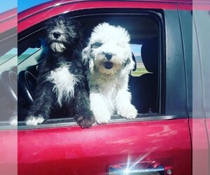 Sheepadoodle Puppy for sale in SAN LUIS, CO, USA