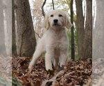 Puppy 14 Golden Retriever