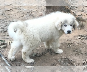 Great Pyrenees Puppy for Sale in POWHATAN, Virginia USA