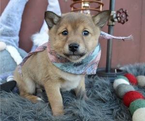 Border Collie-Shiba Inu Mix Dog for Adoption in HONEY BROOK, Pennsylvania USA