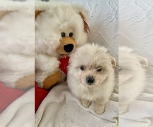 Shiranian Puppy for Sale in MOUNT CLEMENS, Michigan USA