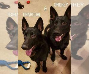 German Shepherd Dog Dog for Adoption in SAN ANTONIO, Texas USA