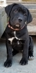 Cane Corso Puppy For Sale in IMPERIAL, Missouri,