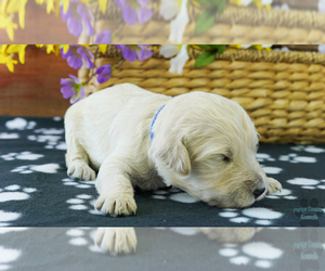 English Cream Golden Retriever-Poodle (Standard) Mix Puppy for Sale in KARLSTAD, Minnesota USA