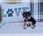 Puppy 7 Yorkshire Terrier