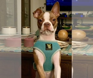 Boston Terrier Dogs for adoption in DEERFIELD BCH, FL, USA