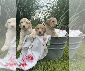 Goldendoodle Puppy for sale in EL DORADO SPG, MO, USA