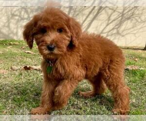 Goldendoodle-Poodle (Standard) Mix Dog for Adoption in ROSEMEAD, California USA